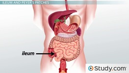 What is the Small Intestine? - Anatomy and Functions