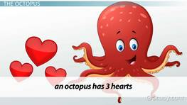 The Octopus Circulatory System