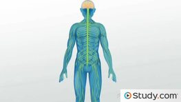 Nervous System Overview: Central & Peripheral