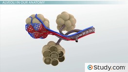 Alveoli: Function, Definition & Sacs