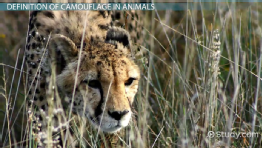 What Is Camouflage in Animals: Definition & Examples