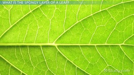 Spongy Layer of a Leaf: Function & Concept