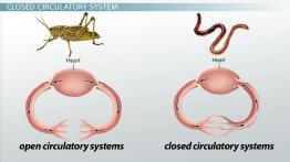 Closed Circulatory System: Definition & Advantage