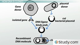 DNA Cloning: Definition and Process