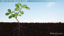 What Are Mycorrhizae? - Definition, Function & Products