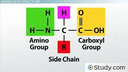 How Amino Acids Form Protein