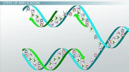 How Does DNA Replicate?