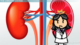 Kidneys: Structure, Function & Medical Vocabulary