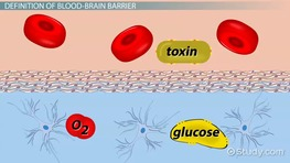 Blood-Brain Barrier: Definition & Function