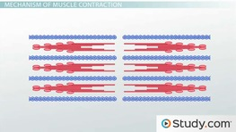 Muscle Contraction: Actin and Myosin Bonding