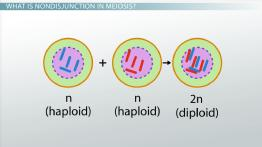 Nondisjunction in Meiosis: Definition & Examples