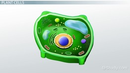 What Does the Nucleus Do in a Plant Cell?