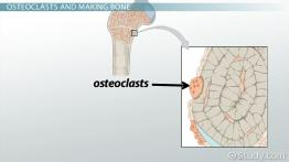 Osteoclast: Definition, Function & Formation