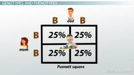 Punnett Square: Definition & Example