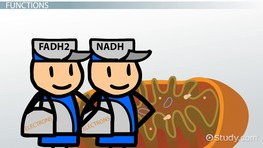FADH2 & NADH: Definition & Overview