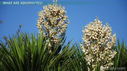 Xerophytes: Definition, Adaptation & Examples