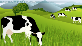 GMOs: Producing Infection-Resistant Cows