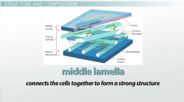 Plant Cell Wall: Function, Structure & Composition