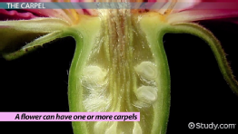 Parts of a Flower Carpel