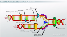 DNA Replication Fork: Definition & Overview