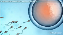 Zygote: Definition & Explanation