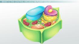 Central Vacuole in Plant Cells: Definition & Function