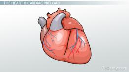 Cardiac Preload: Definition & Reduction
