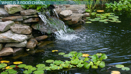 The Pond Food Chain