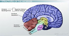 Midbrain: Definition, Function & Structures