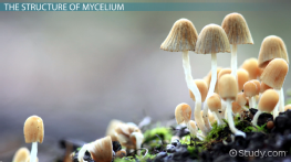 What is Mycelium? - Definition & Function