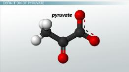 What is Pyruvate? - Definition & Overview