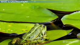 Gastrulation in Frogs: Definition & Concept