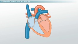 Apical Pulse: Definition & Location