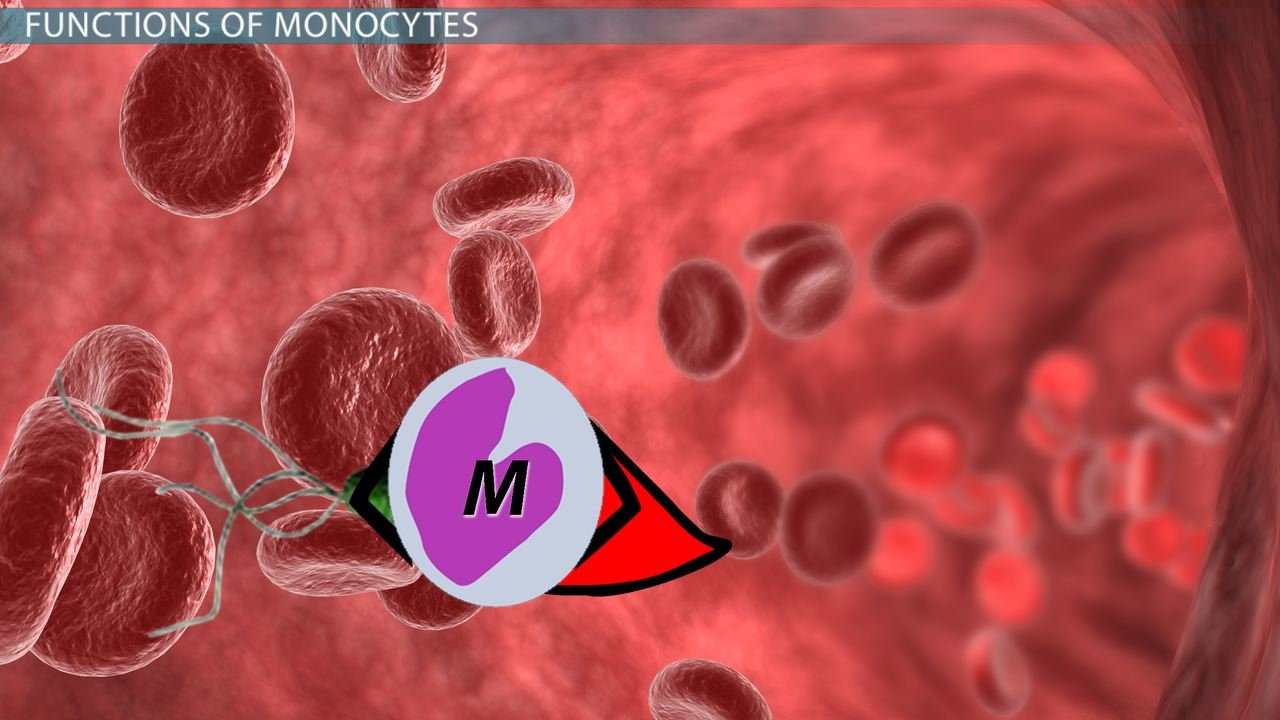 What Are Monocytes Definition Function Amp Blood Test