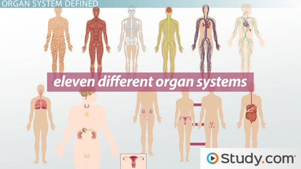 What Is an Organ System? - Definition & Pictures - Video & Lesson ...