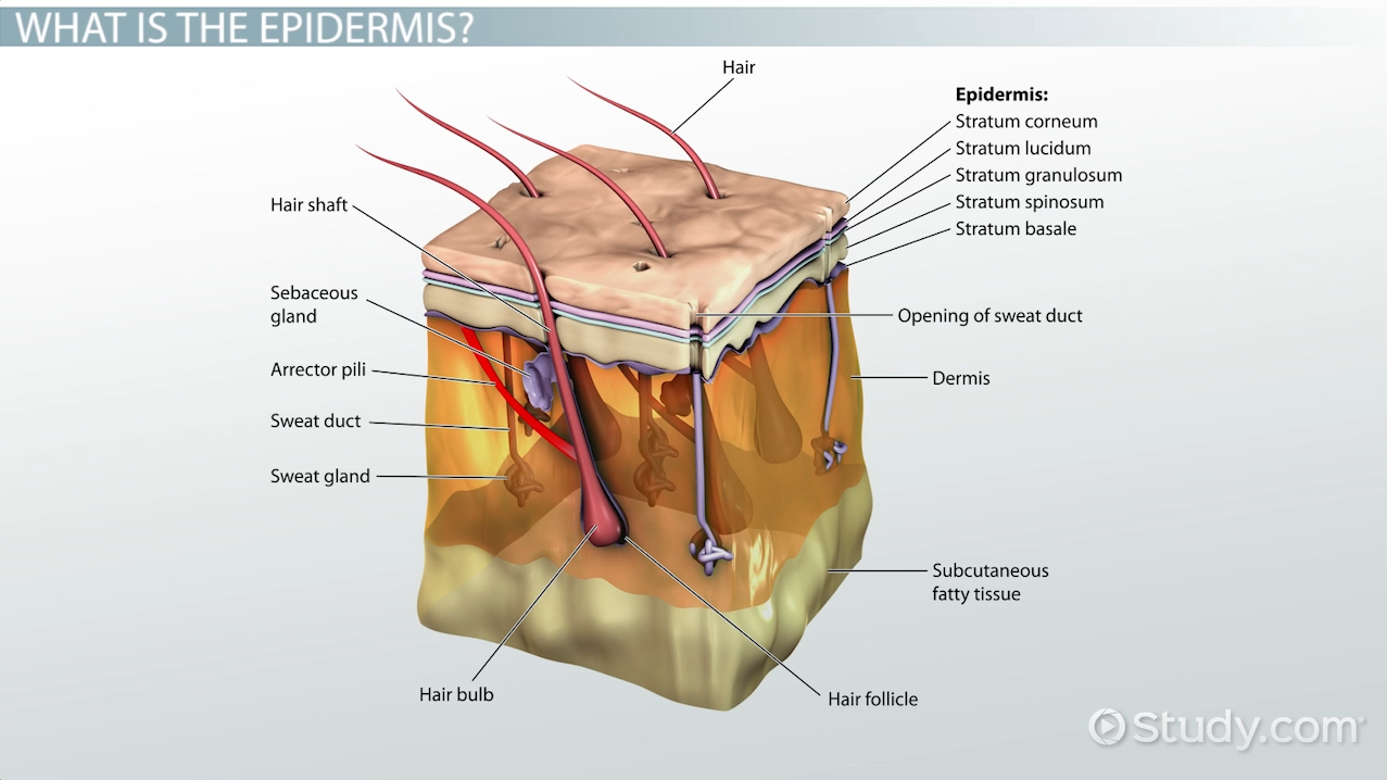 what is epidermis  - definition  function  u0026 layers
