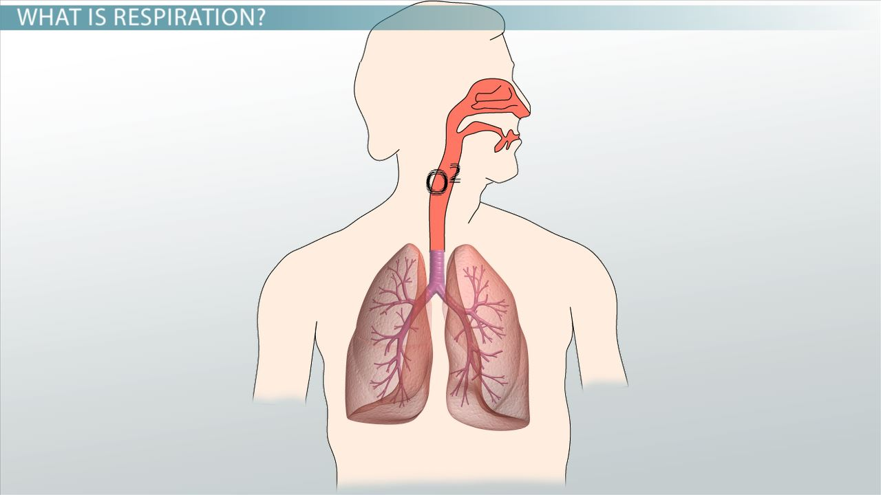 What is Respiration? - Definition, Process & Equation - Video ...