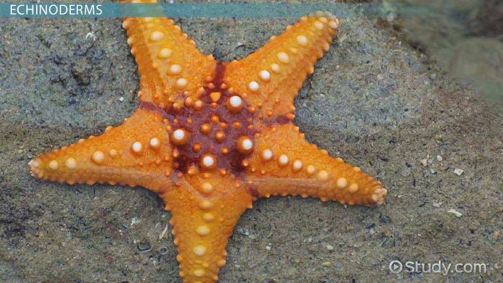 Echinoderms: Traits, Types & Roles - Video & Lesson ...